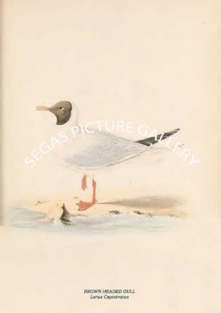 BROWN HEADED GULL - Larus Capistratus